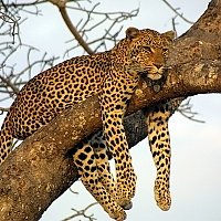 sri_lanka, Leopard tree sleep